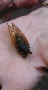 Cicada.1.IMG_20150528_160720_670
